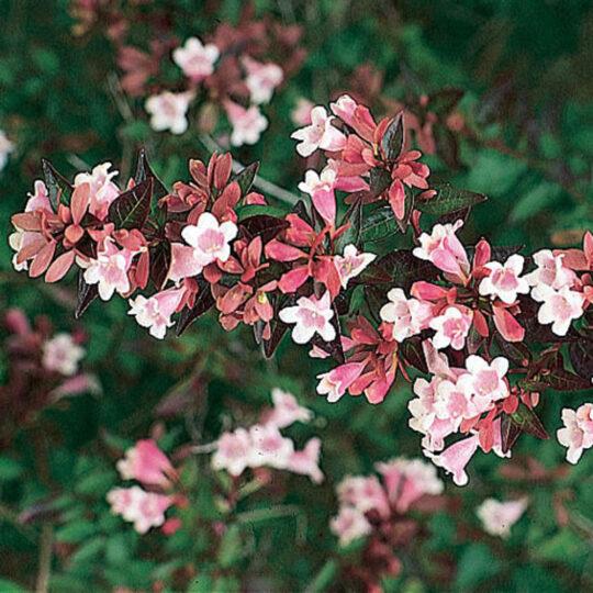 abelia-grandiflora