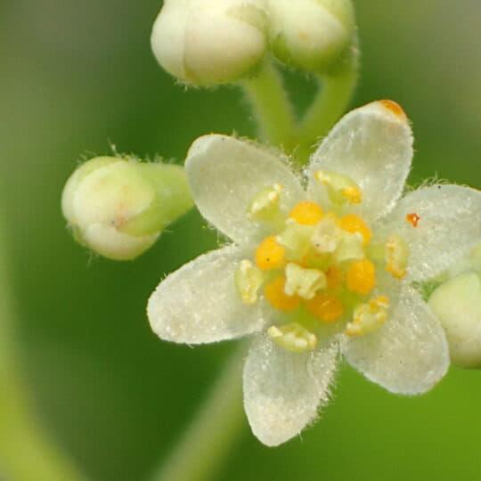 Cinnamonum (Lauraceae)